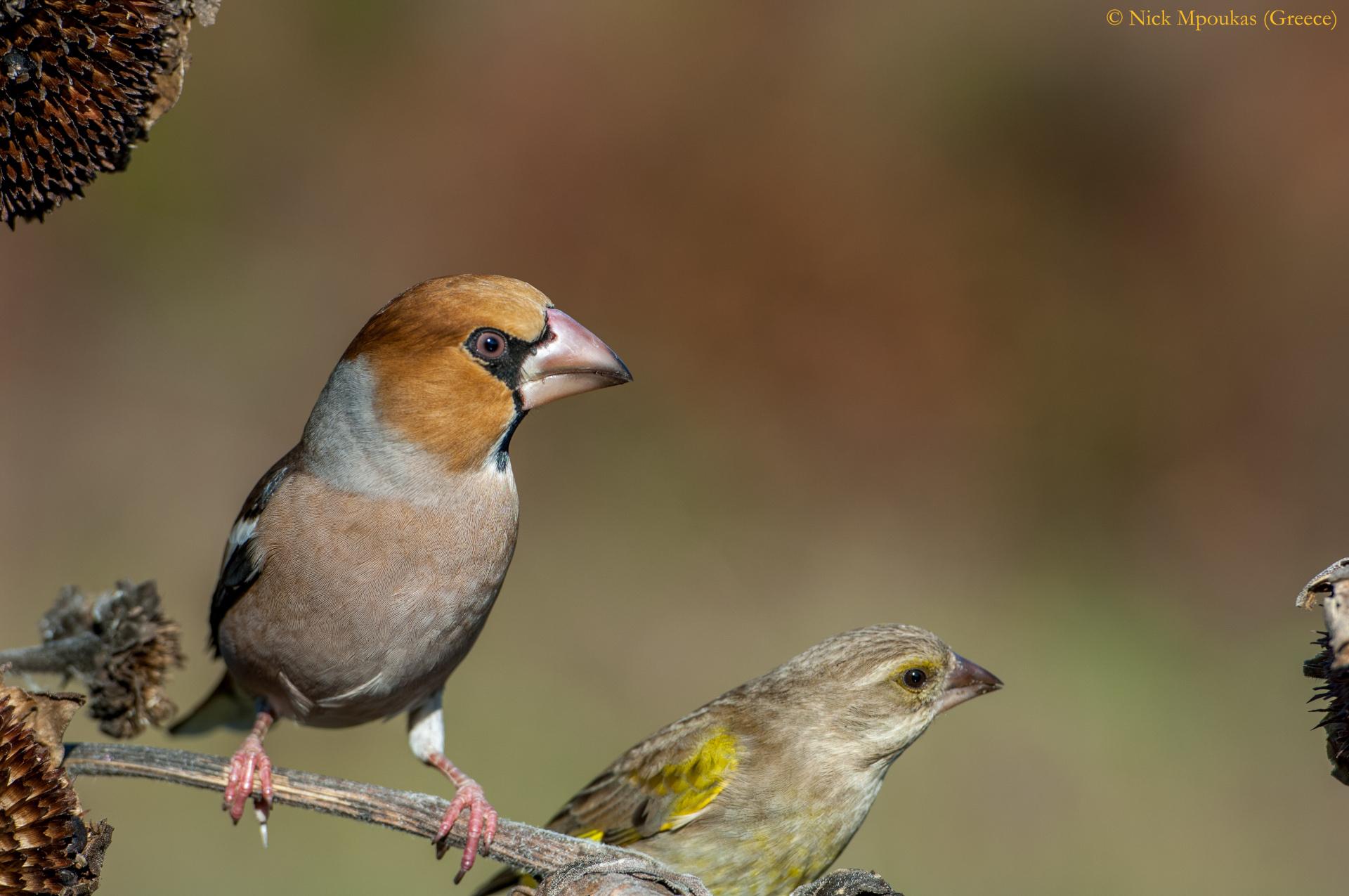 Σπάνια πουλιά στα Τζουμέρκα/Rare birds in Tzoumerka